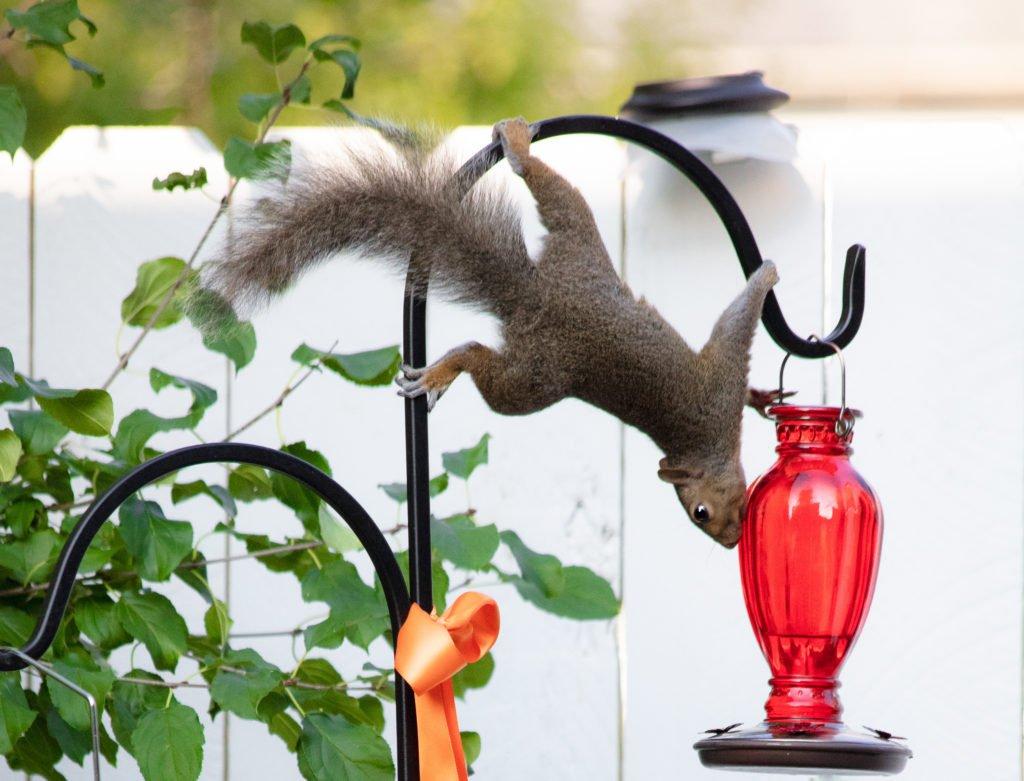 Squirrel on a decorative shepherd hooks